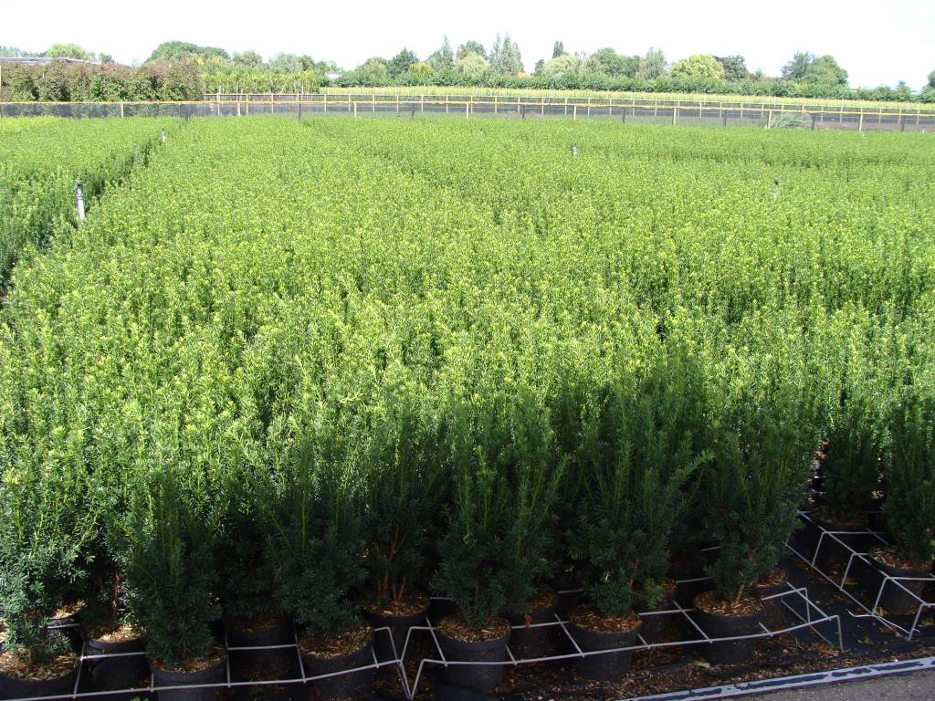 Taxus media 'Hillii' in pot (50cm)
