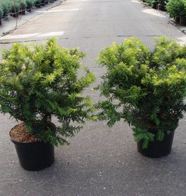 Taxus Baccata 'Summergold' in pot (40-50cm)