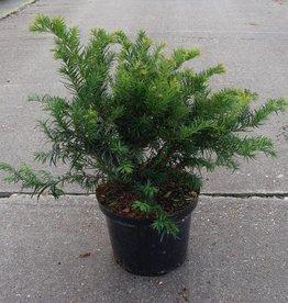 Taxus Baccata 'Repandens' in pot (30-40cm)