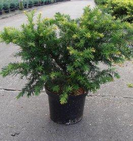 Taxus Baccata 'Repandens' in pot (40-50cm)