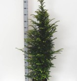 Taxus Baccata in pot (125-150cm)
