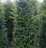 Taxus Baccata maat 140-160 cm
