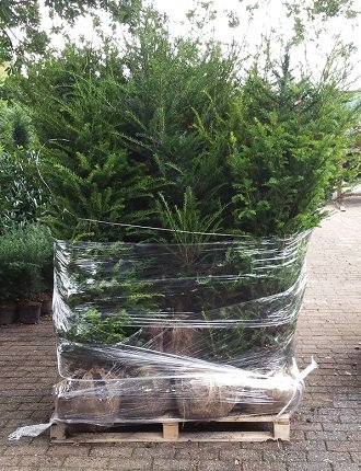 Taxus Baccata maat 80-100 cm