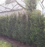 Taxus Baccata maat 160-180 cm