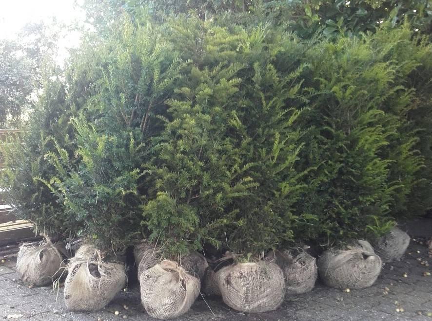 Taxus Baccata maat 120-140