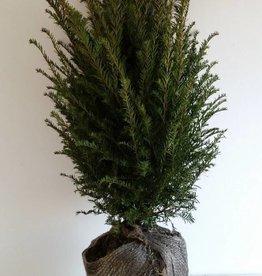 Taxus Baccata maat 40-60 cm