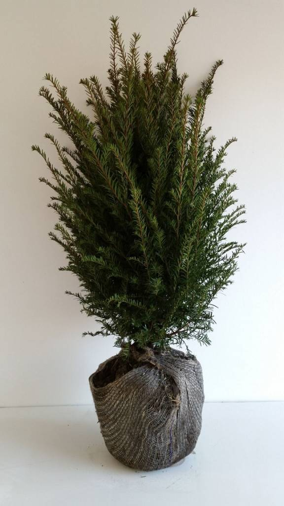 Taxus Baccata maat 50-60 cm