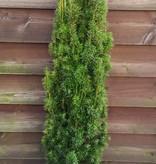 Taxus baccata 'Fastigiata Aurea maat 100 cm