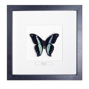Papilio Bromius