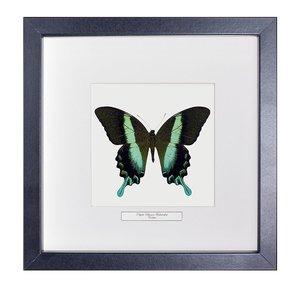 Papilio Blumei Frustorferi