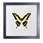Papilio Thoas Cinyras