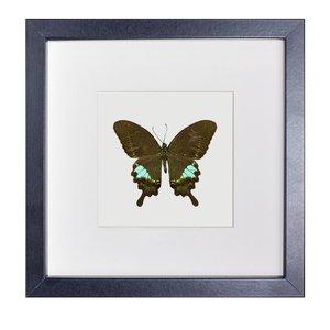 Papilio paris formosanus