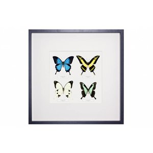 4 Papilio species in frame