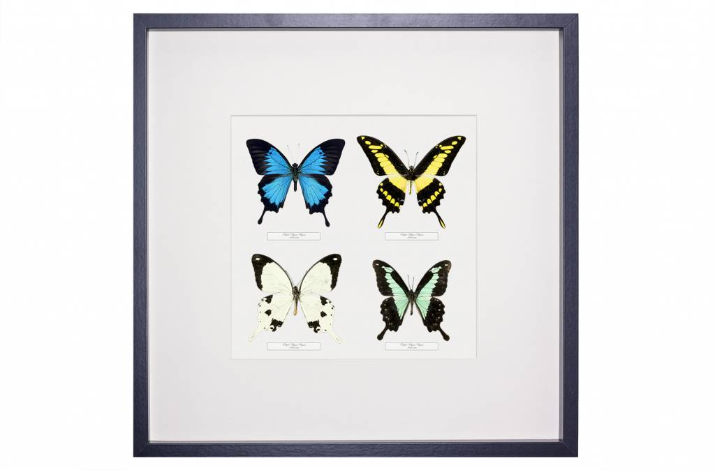 4 Papilio species in frame - Framed butterflies