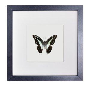 Papilio Graphium Euryplus Euryplus
