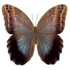 Caligo Brassiliensis