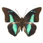 Prepona Amphimachus