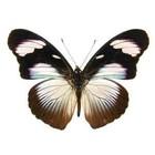 Hypolimnas monteironis