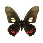 Eurytides harmodius