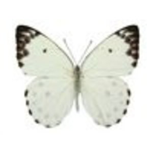 Pieris calypso (bovenzijde)