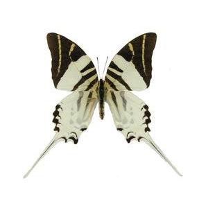Graphium androclus