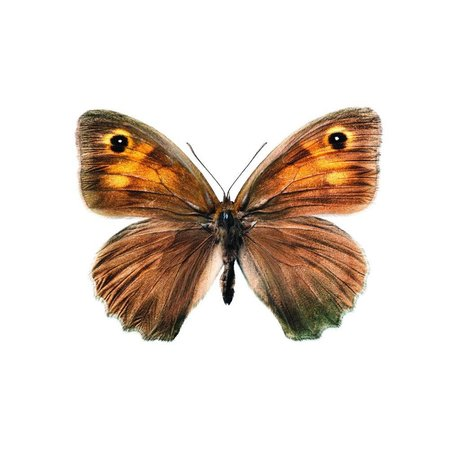 KEK Amsterdam Muursticker vlinder Butterfly 952 bruin 17x12cm