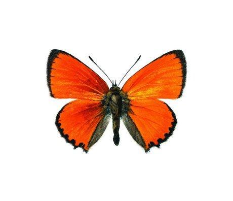 KEK Amsterdam Muursticker vlinder Butterfly 955 oranje bruin 17x12cm