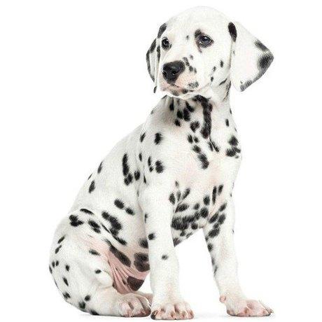 KEK Amsterdam Muursticker XL Dalmatiër puppy 84x117cm