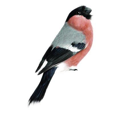 KEK Amsterdam Muursticker Bullfinch 10x15cm, Vogel collectie