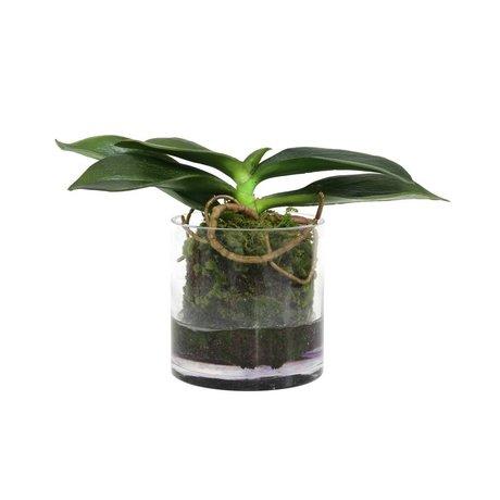 HK-living Decoratie gewortelde phalaenopsis orchideeën vaas 15cm