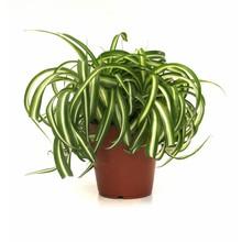 Groene plant Bonnie