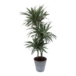 Artstone Dracaena White Jewel in Artstone pot