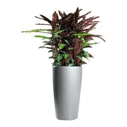 Calathea Rufibarba in zelwatergevende pot