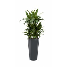 Dracaena Janet in antraciete zelfwatergevende pot