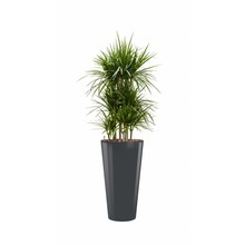 Dracaena Marginata in antraciete zelfwatergevende pot