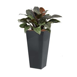 Philodendron in zelfwatergevende antraciet pot