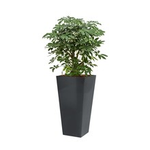 Schefflera in antraciete zelfwatergevende pot