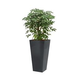 Schefflera in antraciete hydrocultuur pot
