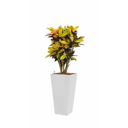 Croton in witte zelfwatergevende pot