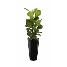 Ficus Vioolblad in zwarte zelfwatergevende pot
