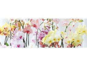 De woonplant van november is de bijzondere orchidee