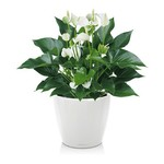 Lechuza Anthurium White Champion in zelfwatergevende pot