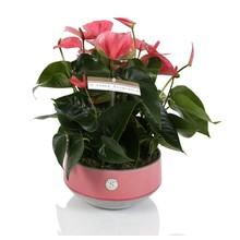 Tafel Anthurium roze