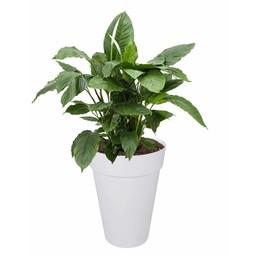 Lepelplant in Witte Elho pot