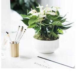 Tafel Anthurium wit