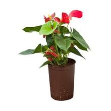 Hydroplant Anthurium sierra