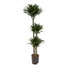 Hydroplant Dracaena compacta