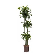Hydroplant Dracaena dorado