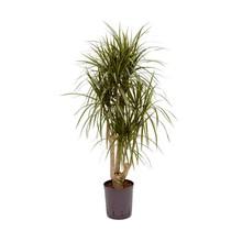 Hydroplant Dracaena marginata