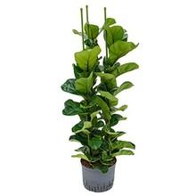 Hydroplant Ficus lyrata bambino